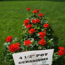 """Zonal Geraniums 4 1/2"""" Pot"""