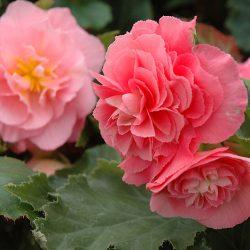 """Begonias 4 1/2"""" pots"""
