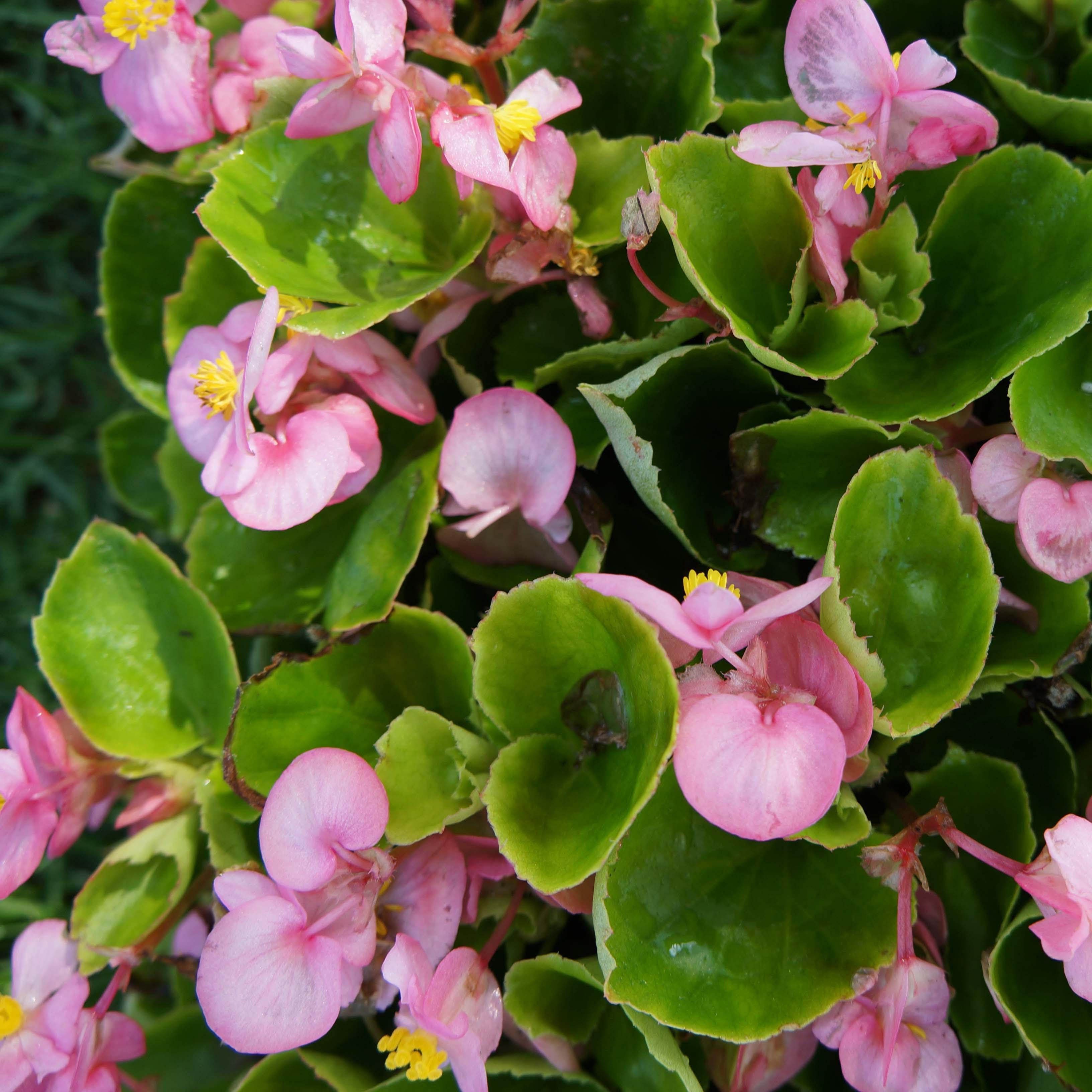 Flats - 48 plants per flat