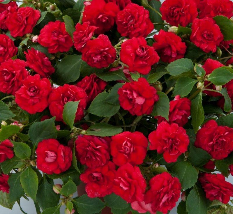4 P Impatiens Double Red Wheaton Garden Club