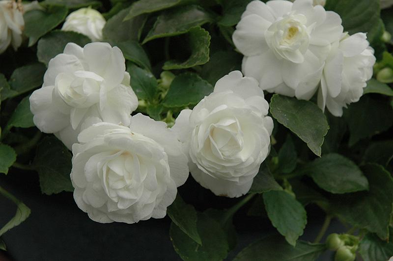 HB – Impatiens – Double – White – Wheaton Garden Club White Impatiens Flowers