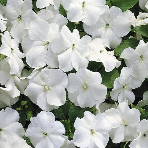 FLAT – Impatiens – White – Wheaton Garden Club White Impatiens Flowers