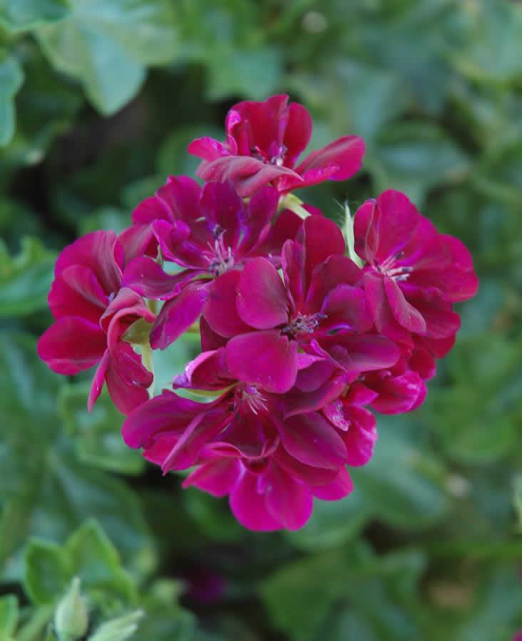 Ivy Geranium Burgandy