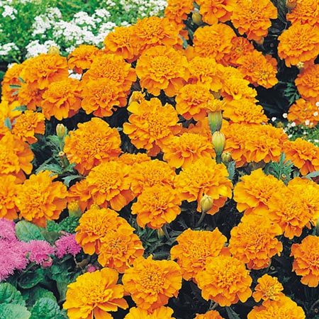FLAT     Marigold     French Dwarf     OrangeFrench Marigold Dwarf