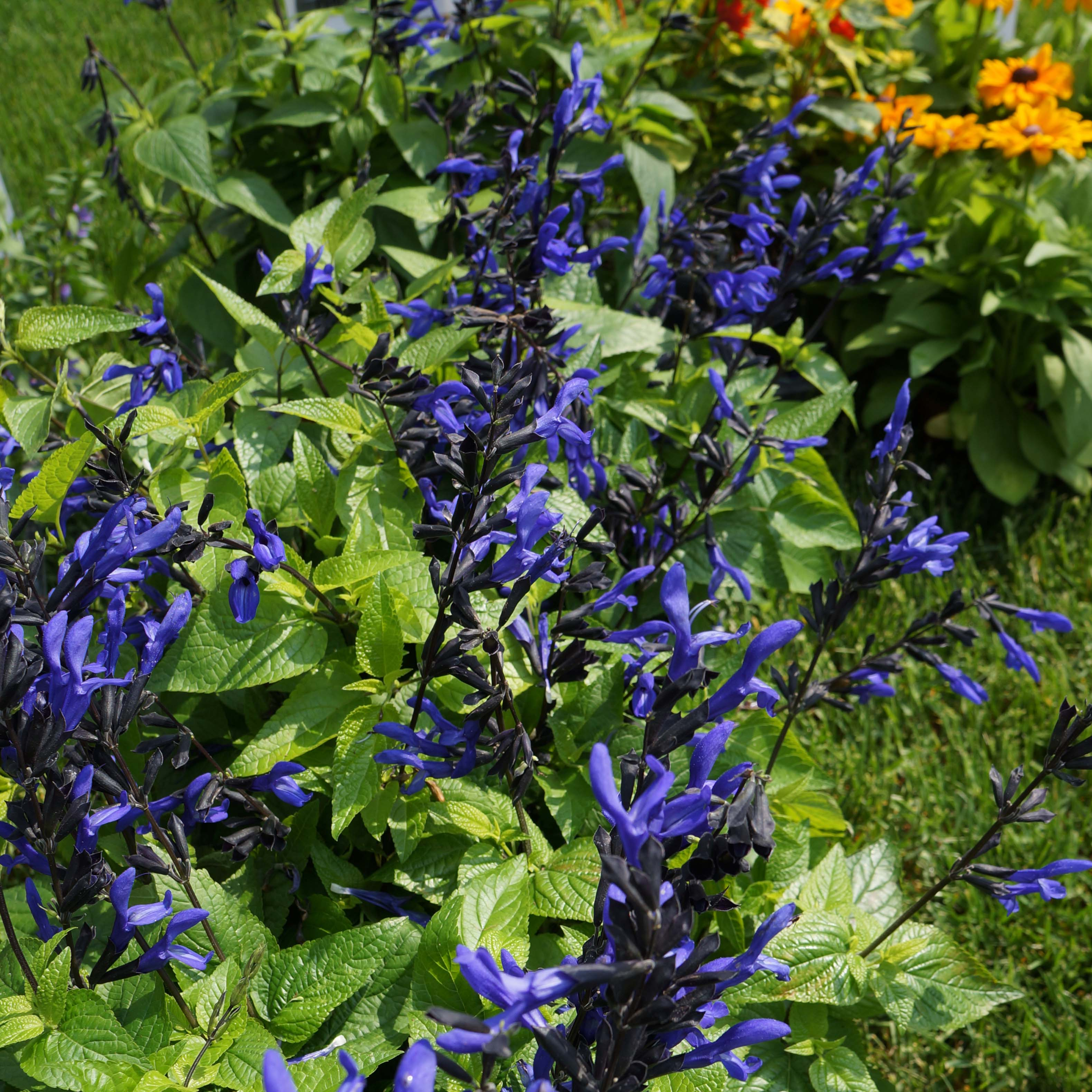 4p salvia blackblue wheaton garden club 4p izmirmasajfo Images