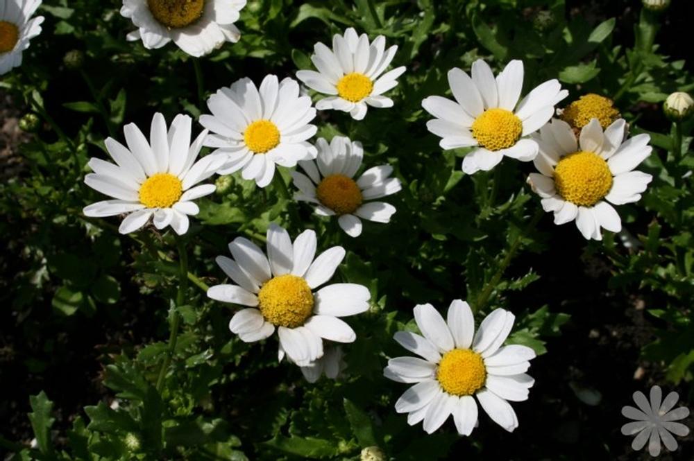 Flat chrysanthemum white snowland wheaton garden club flat chrysanthemum white snowland mightylinksfo