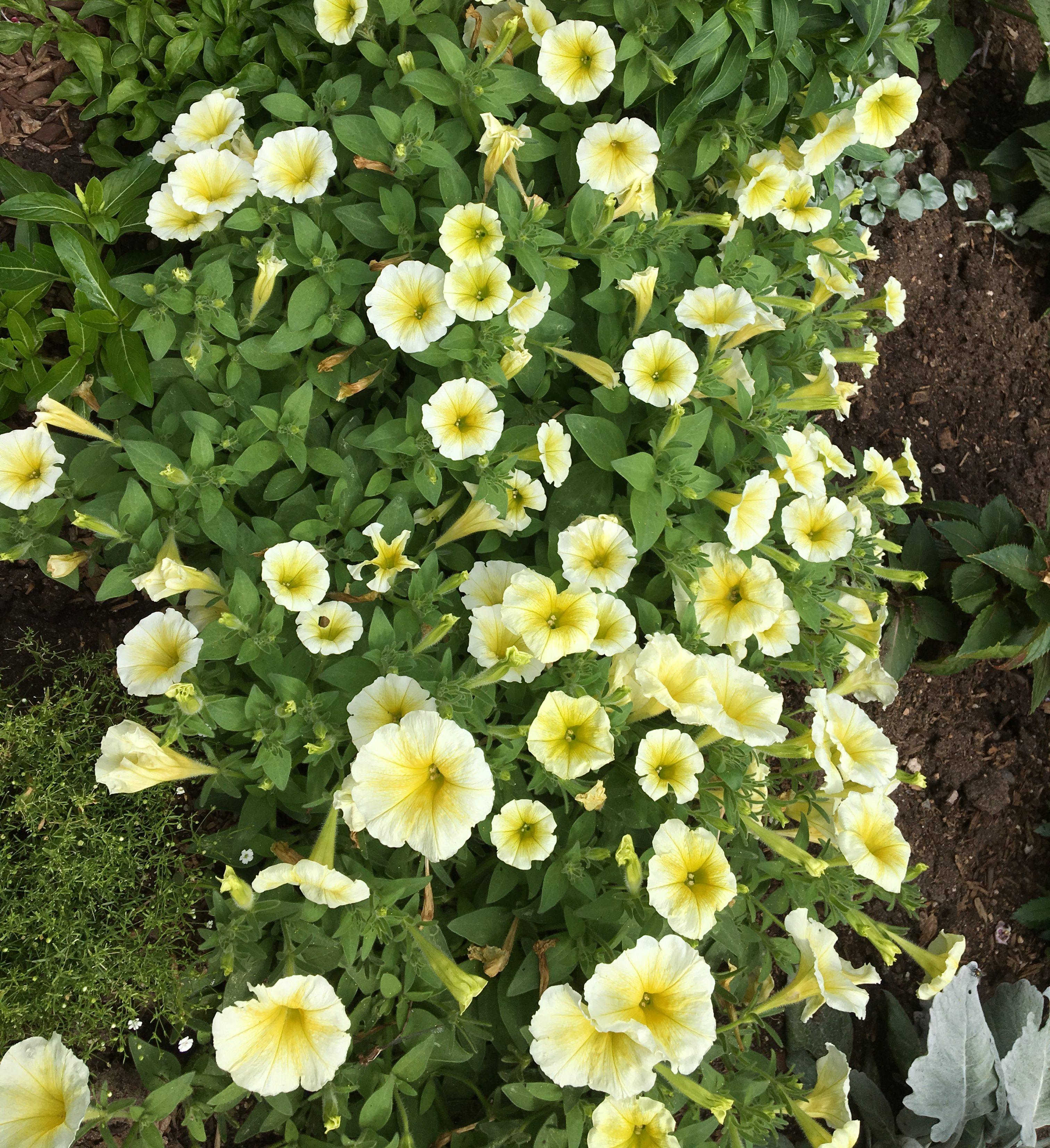 4 P Petunia Easy Wave Yellow Wheaton Garden Club