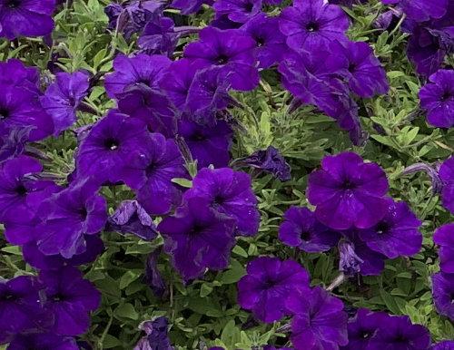 4 P Petunia Easy Wave Purple Wheaton Garden Club