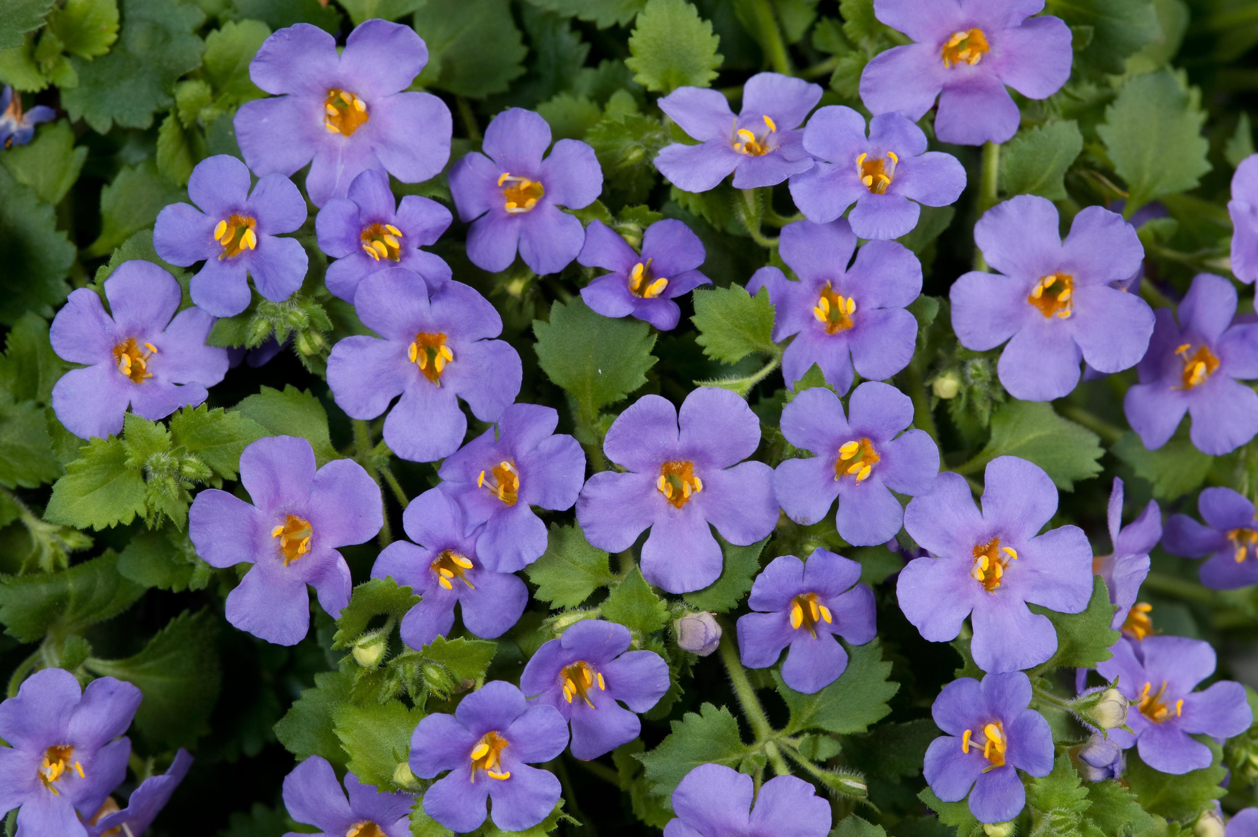 Цветок бакота